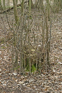 Ring of sticks round coppiced Hazel stool for protection against Deer grazing, Norfolk, UK March 2006 - Dave Bevan