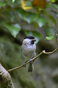 Marsh tit (Poecile palustris) with insect prey, Wales, UK  -  Dave Bevan