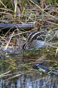 Snipe (Gallinago gallinago) feeding at woodland pool, Wales, UK, December  -  Dave Bevan