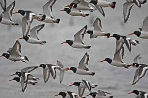 Flock of Oystercatchers in flight (Heamatopus ostralegus) North Wales, UK, February - Dave Bevan