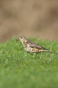 Mistle thrush (Turdus viscivorus) listening for worms in lawn, Wales, UK, February  -  Dave Bevan
