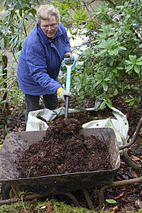 Woman forking well-rotted leaf mold from a big bag into a wheel barrow, UK, model released  -  Dave Bevan