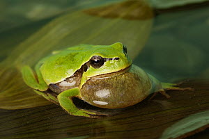 Common tree frog (Hyla arborea) calling with vocal sac inflated, Spain  -  Jose Luis GOMEZ de FRANCISCO