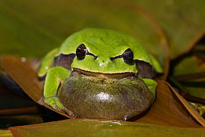 Common tree frog (Hyla arborea) sitting on leaf calling with its vocal sac inflated, Spain  -  Jose Luis GOMEZ de FRANCISCO