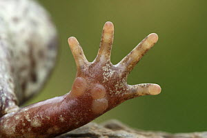 Midwife toad (Alytes obstetricans), close-up of foot of front leg, Spain  -  Jose Luis GOMEZ de FRANCISCO