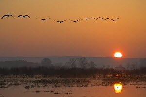 Common cranes (Grus grus) flying in formation at sunrise, Hornborgasj�n Lake, Sweden  -  Inaki Relanzon