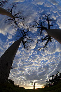 Looking up at Baobabs (Andasonian grandidieri) on Baobabs Avenue, Morondava, West Madagascar  -  Inaki Relanzon