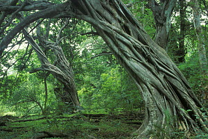 Strangler fig roots growing up trees in Dry forest in Guanacaste, Costa Rica  -  Jouan & Rius