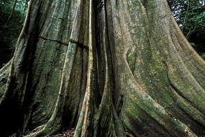 Buttress roots of giant tree in rainforest, Tortuguero NP, Costa Rica  -  Jouan & Rius