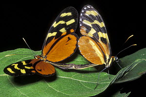 Isabella's Heliconian butterfly (Eueides isabella), pair mating, Costa Rica  -  Jouan & Rius