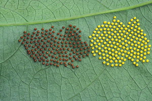 Butterfly eggs on the underside of a leaf, Costa Rica - Jouan & Rius