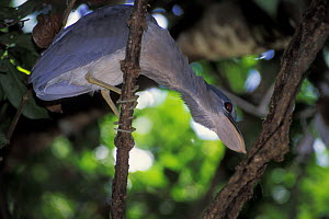 Boat-billed heron (Cochlearius cochlearius) from below, showing the bill shape, Tortuguero NP, Costa Rica  -  Jouan & Rius