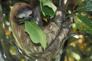 Pale throated three-toed sloth (Bradypus tridactylus) eating leaf, rainforest habitat, Costa Rica  -  Jouan & Rius