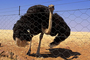 Ostrich behind wire mesh on farm territory, Namibia - Jouan & Rius