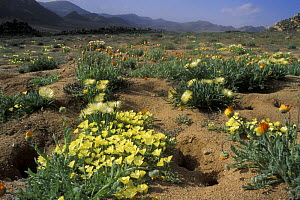 Carpet of Devil thorn flowers (Tribulus terrestris) and other flowers during the rainy season, Namaqualand, South Africa - Jouan & Rius