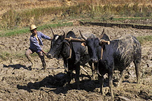 Villager using Zebus (Bos indicus) to plough paddy field, Highlands, Madagascar  -  Jouan & Rius