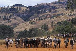 Zebu (Bos indicus) herd in the Highlands, Madagascar  -  Jouan & Rius