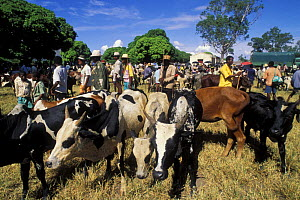 Zebu cattle market in the south of Madagascar  -  Jouan & Rius