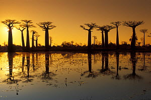 Baobab trees (Adansonia grandidieri) on the edge of a lake, silhouetted at sunset, Madagascar  -  Jouan & Rius