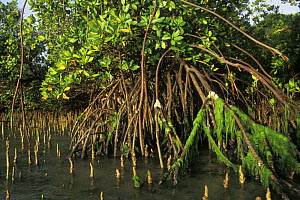 Mangrove with aerial roots and pneumatophores along the West coast of Madagascar - Jouan & Rius