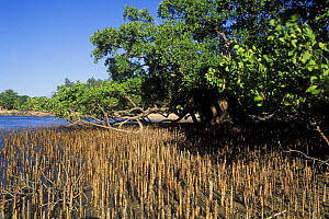 Mangrove with pneumatophores (aerial roots) rising out of the water, along the West coast, Madagascar - Jouan & Rius