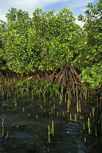 Mangroves with aerial roots along the West coast of Madagascar - Jouan & Rius
