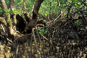 Mangrove at the low tide, with pneumatophores (aerial roots) visible, Madagascar - Jouan & Rius