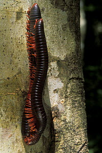 Giant millipedes (Dplopoda) pair mating in tropical dry forest, Madagascar  -  Jouan & Rius