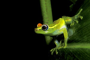 Endemic frog (Mantidactylus liber) at night in rainforest, Andasibe Mantadia NP, Madagascar  -  Jouan & Rius