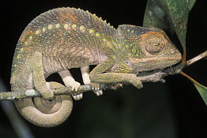 Jewel chameleon (Chamaeleo / Furcifer lateralis) on branch at night, in tropical dry forest, Madagascar - Jouan & Rius