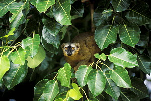 Brown lemur (Eulemur fulvus) in banyan tree looking out through leaves, South Madagascar - Jouan & Rius