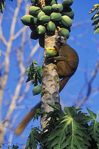 Red fronted brown lemur (Eulemur fulvus rufus) eating papaya fruit, Madagascar  -  Jouan & Rius