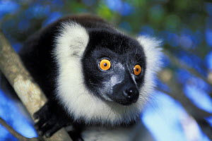 Black and white ruffed lemur (Varecia variegata variegata) portrait, tropical rainforest, Andasibe-Mantadia NP, Madagascar  -  Jouan & Rius