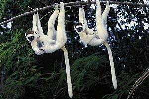Two Verreaux's sifakas (Propithecus verreauxi) hanging from a branch, Nahampoana reserve, Madagascar South  -  Jouan & Rius