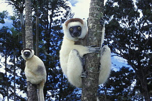Two Verreaux's sifakas (Propithecus verreauxi) on trees, Nahampoana reserve, Madagascar South  -  Jouan & Rius