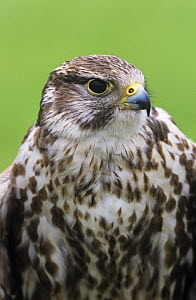Saker falcon (Falco cherrug) year-old captive male at Falconry Centre in Derbyshire, UK - Chris O'Reilly