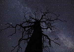 The Milky way viewed on a September night, with dead tree in foreground, North Finland 2006  -  Jorma Luhta