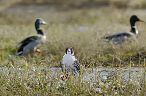 Peregrine Falcon {Falco peregrinus} feeding on carcas of Goldeneye duck, april, Northern Finland - Jorma Luhta
