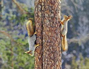 Two Red squirrels {Sciurus vulgaris} on tree trunk, one going up, one coming down, Finland - Jorma Luhta