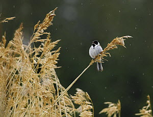 Reed bunting {Emberiza schoeniclus} perched on grasses, Finland  -  Jorma Luhta