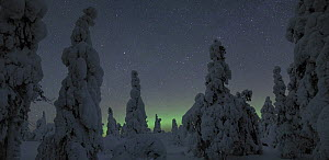 Cold winter night with snow laden pine trees and a small aurora, North Finland, 2006  -  Jorma Luhta