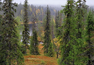 Taiga forest, Sy�te National Park, September, Oulu, Finland 2006  -  Jorma Luhta