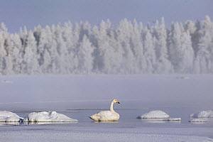 Whooper swan {Cygnus cygnus} tries to overwinter in the arctic, February, Finland 2007  -  Jorma Luhta