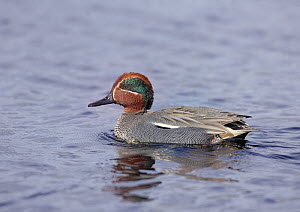 Common teal {Anas crecca} male on water, Finland  -  Jorma Luhta