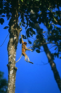 Proboscis monkey (Nasalis larvatus) juvenile playing by swinging from a vine. Kinabatangan Wildlife Sanctuary, Sabah, Malaysia, Borneo, Endangered - Tim Laman