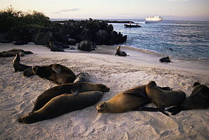 Galapagos sea lions (Zlophus californianus wollebacki) on Espanola / Hood Island, Galapagos, June. Tourist zodiac boat and ship in the background.  -  Tim Laman