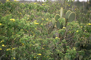 Giant Prickly Pear Cactus (Opuntia sp.) and other vegetation on Santa Cruz Island. June 1993. - Tim Laman