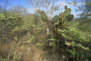 Giant Prickly Pear Cactus (Opuntia sp) and other vegetation on Isabela Island, Galapagos Islands, June 1993. - Tim Laman