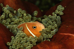 Pink anemonefish (Amphiprion perideraion) amongst tentacles of Sea anemone, Indo-pacific - Tim Laman