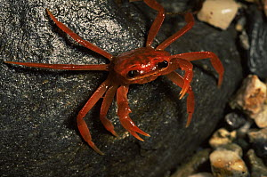 Unidentified land crab from Panay Island Northwest mountains, Philippines. May - Tim Laman